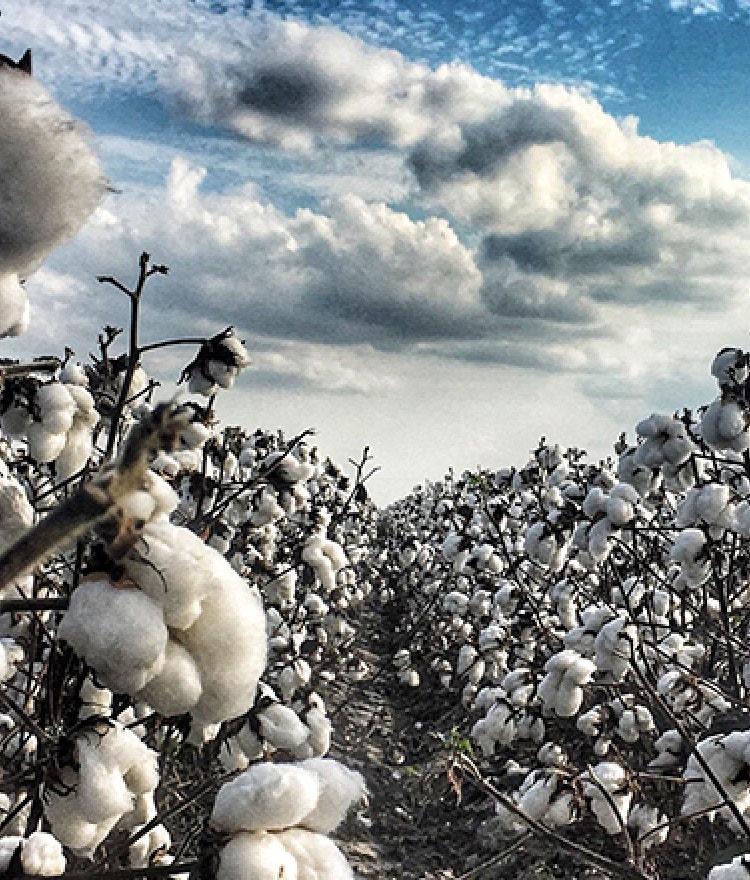 Does Non-Organic Cotton Contain Pesticide Residues?