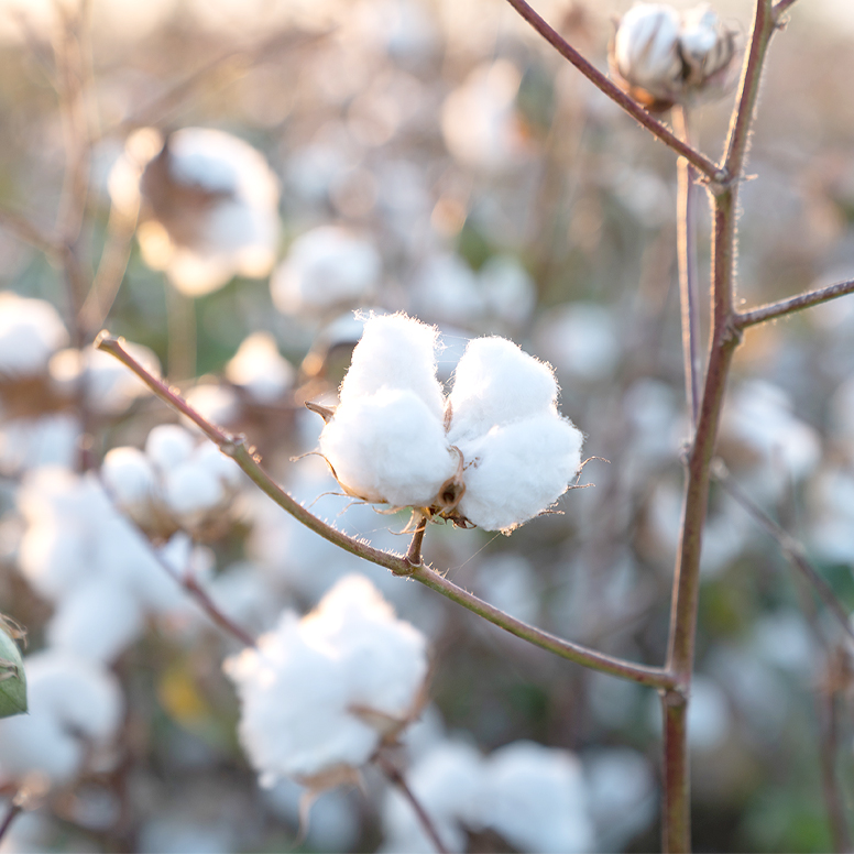 Close-up of cotton growing on a plant