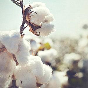 cotton plant in field