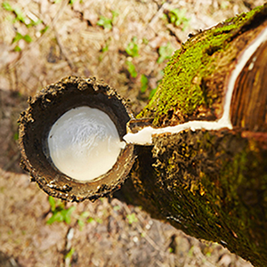 organic latex being cultivated from an organic rubber tree